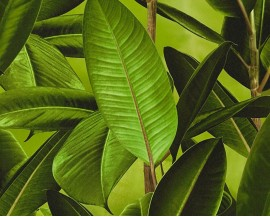 Tapeta na flizelinie niemieckiej firmy A.S. Creation z kolekcji Bude 2.0. Wzór to duże, zielone liście fikusa z efektem 3D.