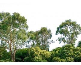 Fototapeta Korony drzew